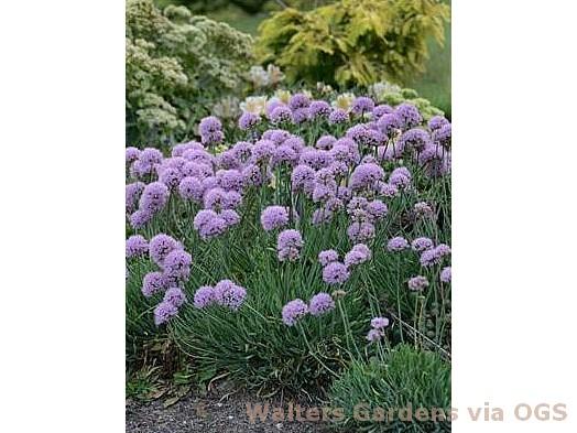 Allium senescens 'Blue Eddy'