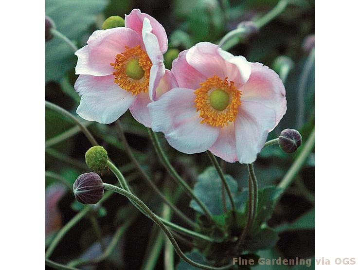 Anemone x hybrida 'Richard Ahrens'