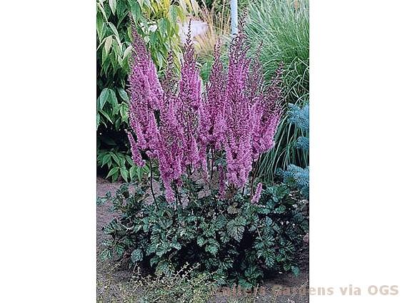 Astilbe Chinensis Purple Candles Oriental Garden