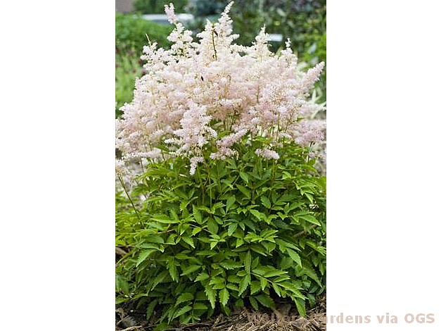 Astilbe 'Younique Silvery Pink'