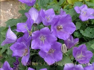Campanula carpatica 'Blue Chips'