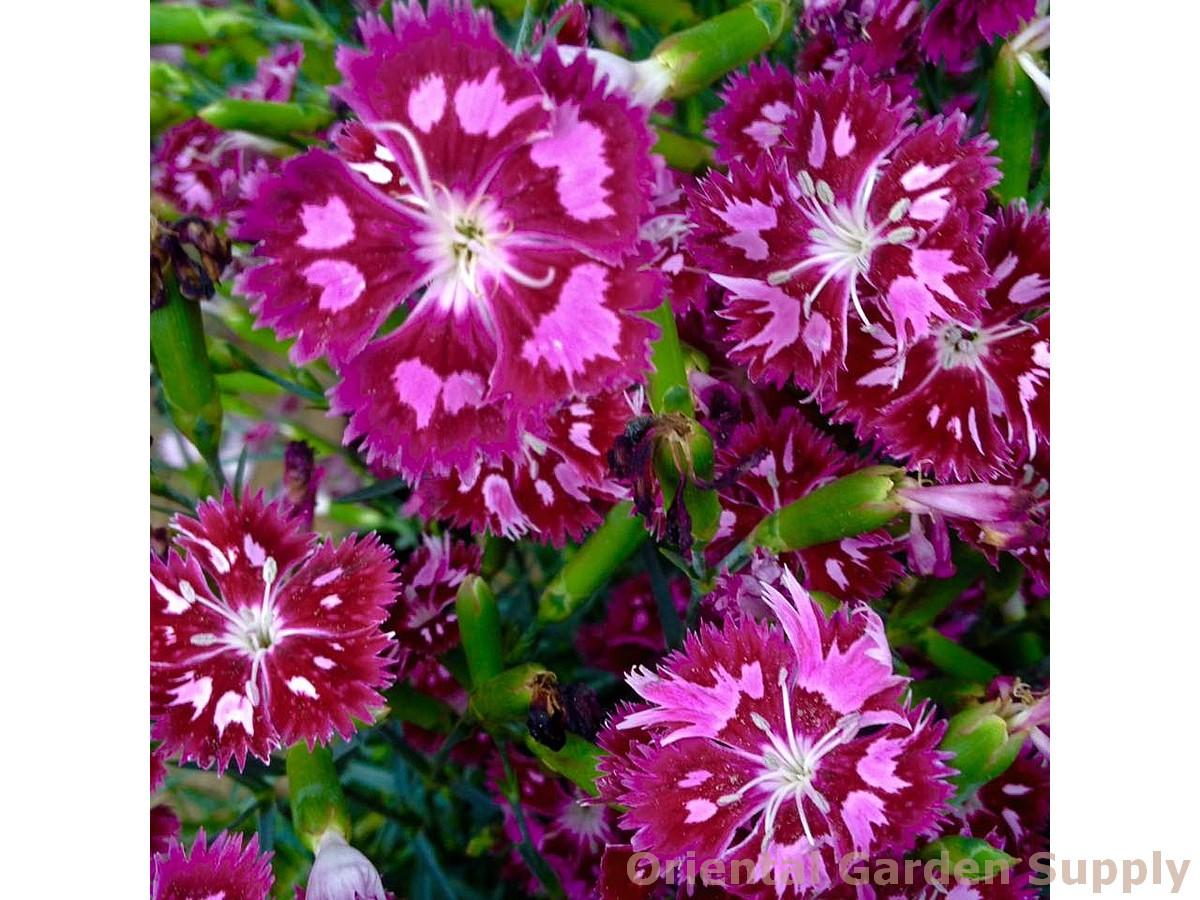 Dianthus 'Spangled Star'