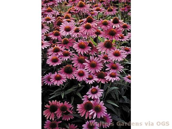 Echinacea pur. 'Magnus Superior'