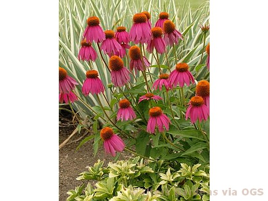 Echinacea pur. 'Red Knee High'