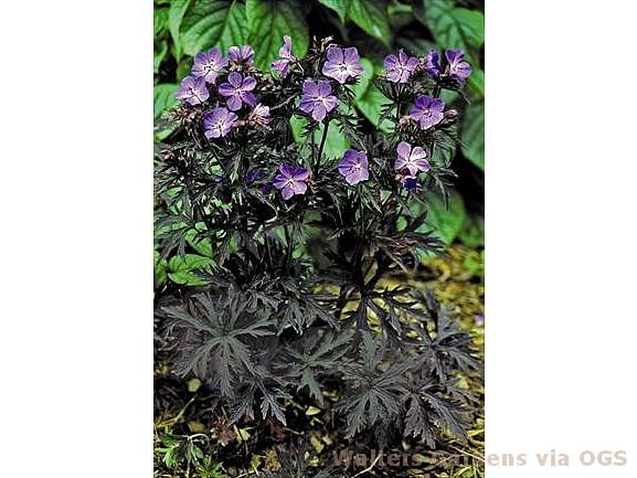 Geranium pratense 'Dark Reiter'