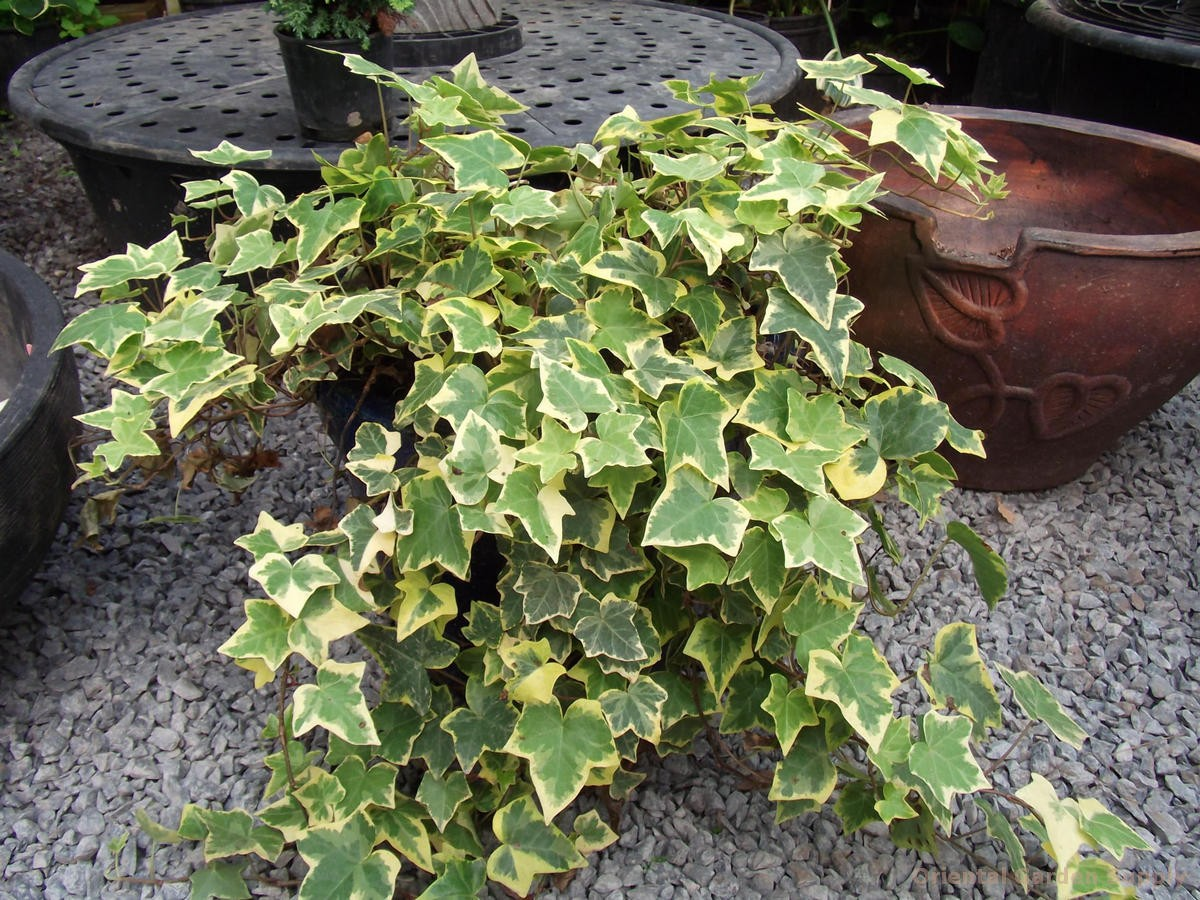 Hedera helix 'Variegated'