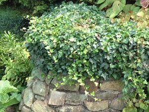 Hedera helix 'Thorndale'