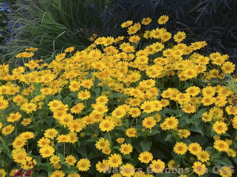 Heliopsis helianthoides 'Tuscan Sun'