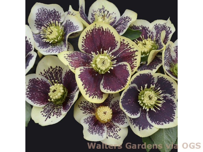 Helleborus x 'Honeymoon Rio Carnival'