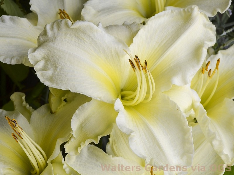 Hemerocallis 'Sunday Gloves'