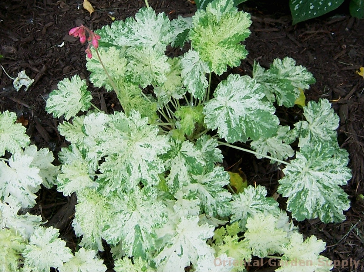 Heuchera 'Snow Angel'