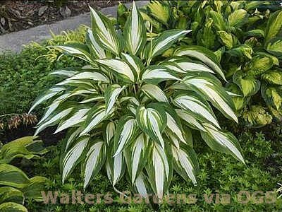Hosta 'Cool As a Cucumber'