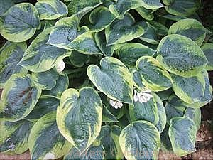 Hosta 'Jack of Diamonds'