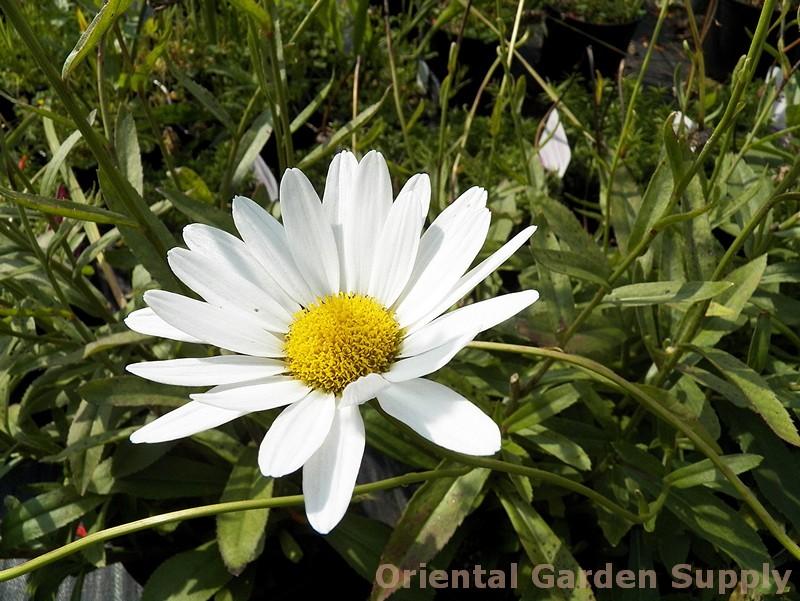 Leucanthemum superbum 'Becky'