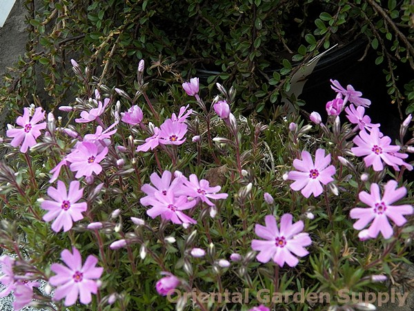 Phlox subulata 'Fort Hill'