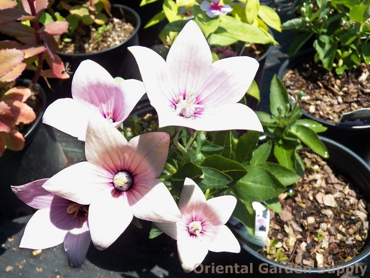 Platycodon 'Astra Pink'