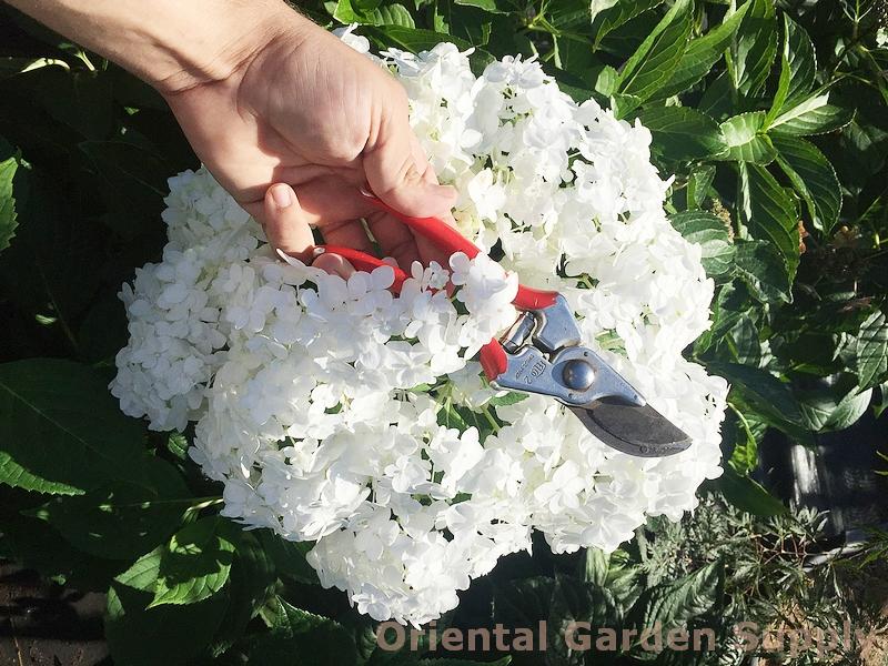 Hydrangea macrophylla 'Snowstorm'