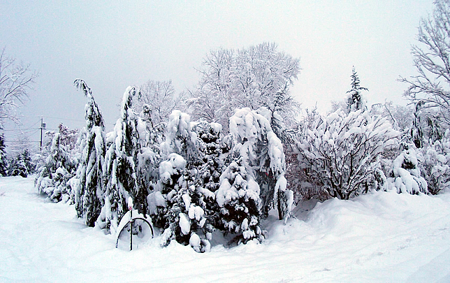 Conifers at OGS in Winter