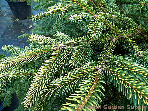 Picea abies Acro-yellow