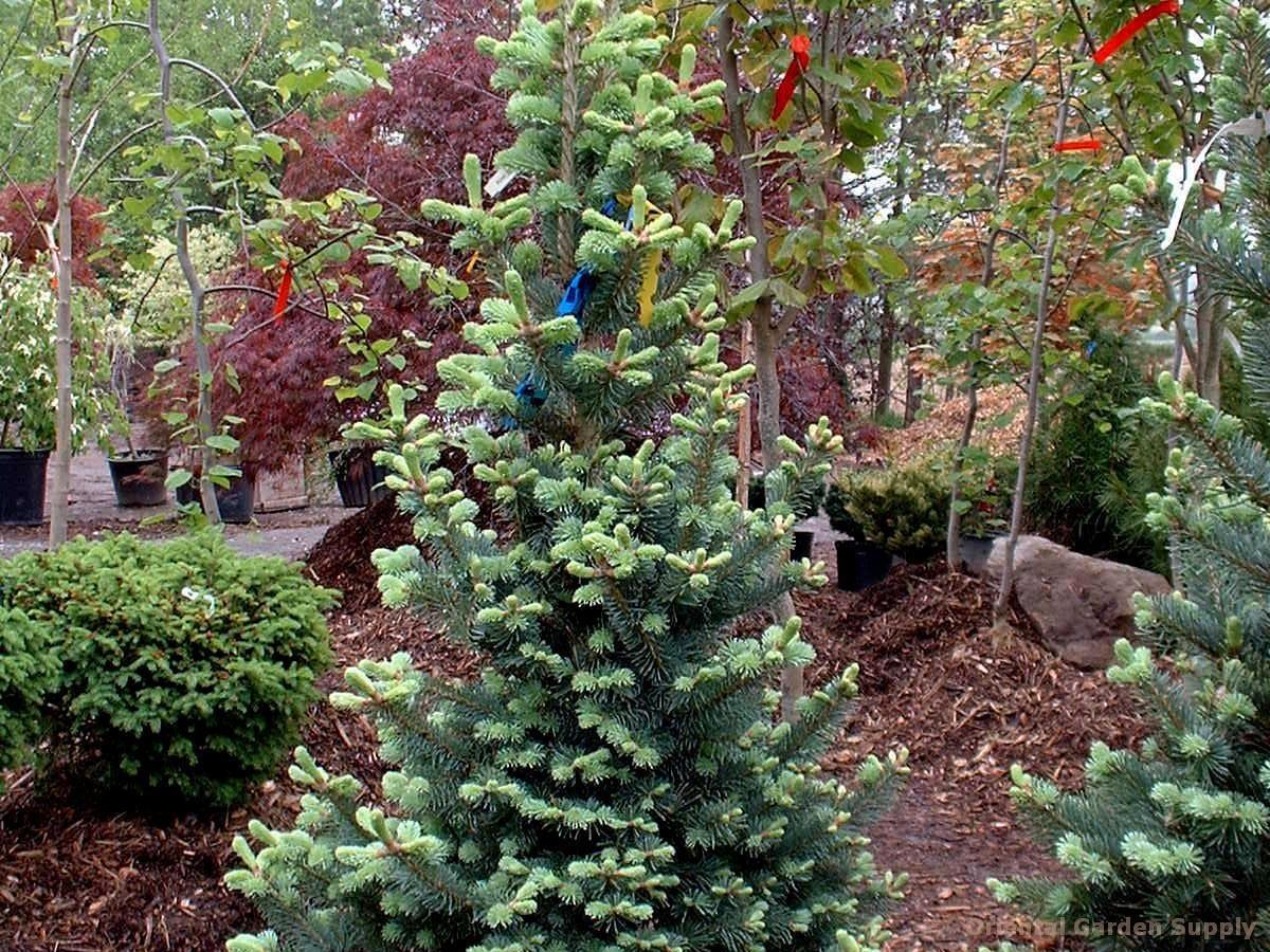 Abies Lasiocarpa Arizonica Glauca Compacta Oriental Garden