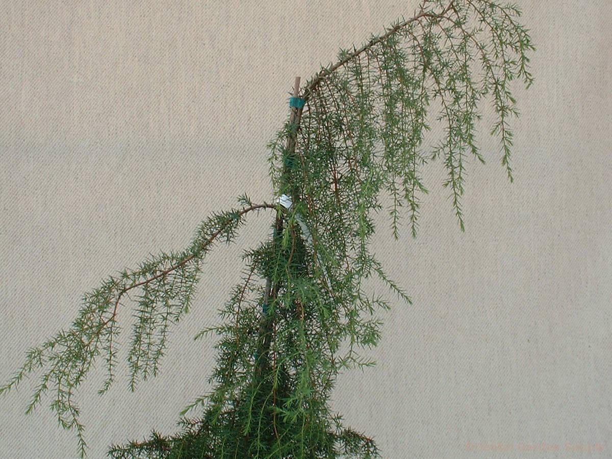 Juniperus communis 'Oblonga Pendula'