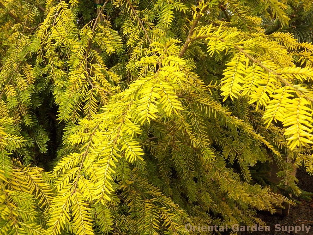 Tsuga canadensis 'Golden Splendor'