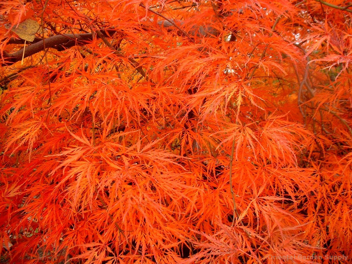Acer palmatum dissectum 'Atropurpureum'