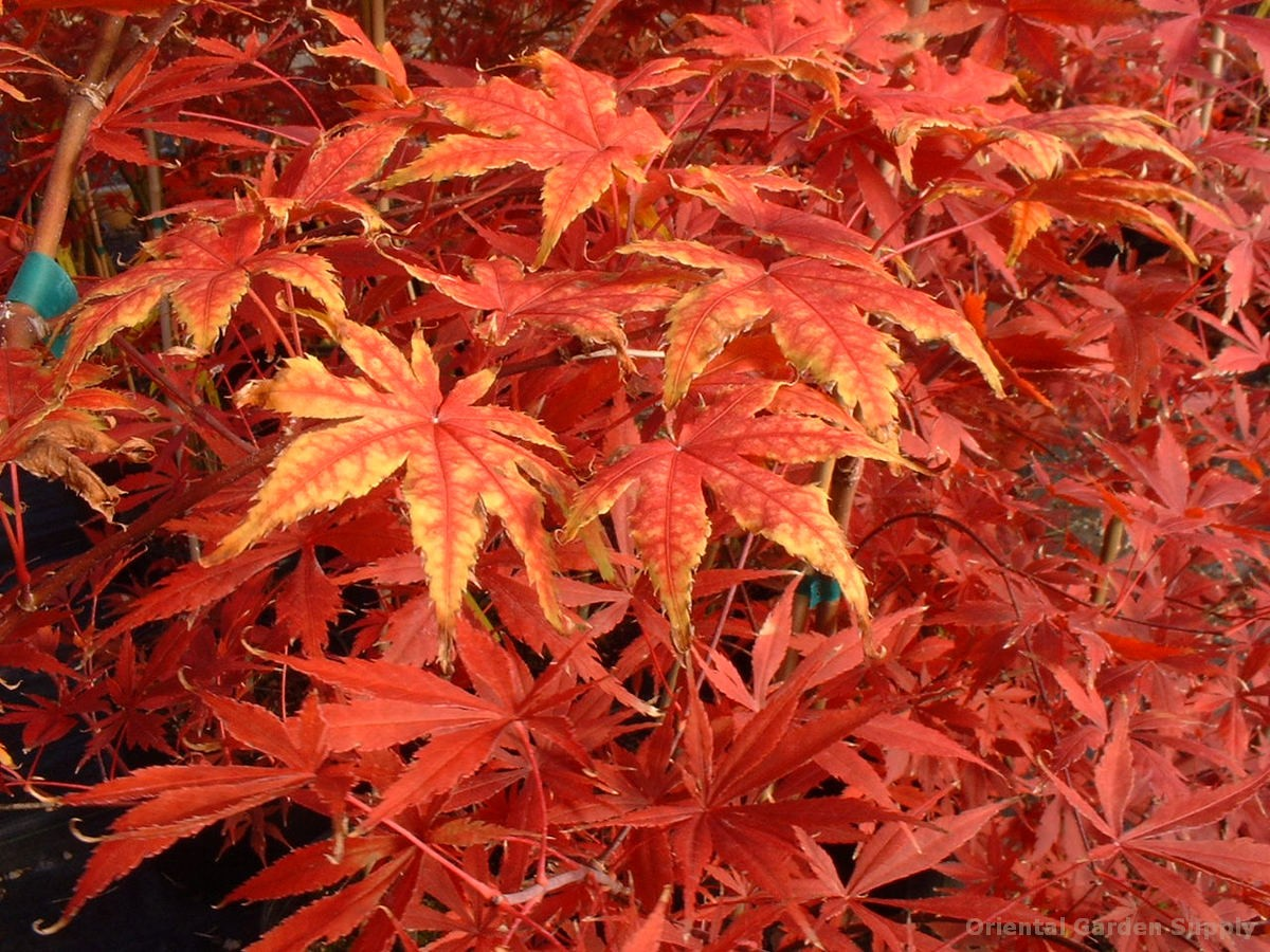 Acer palmatum 'Kasagiyama'