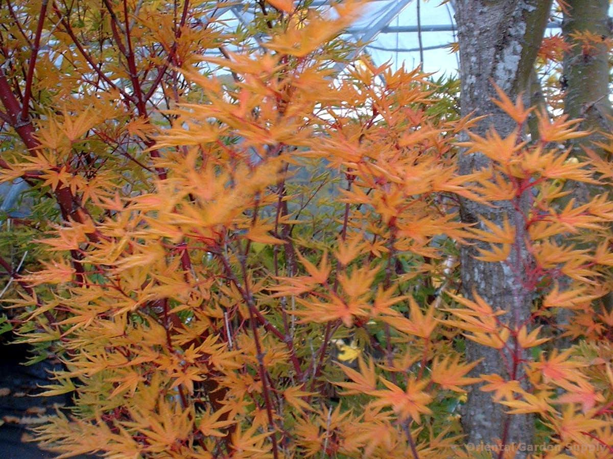 Acer Palmatum Okushimo Oriental Garden Supply Llc