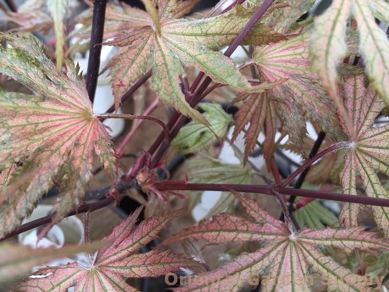 Acer Palmatum Amber Ghost Oriental Garden Supply Llc