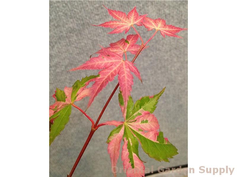 Acer palmatum 'Cotton Candy'