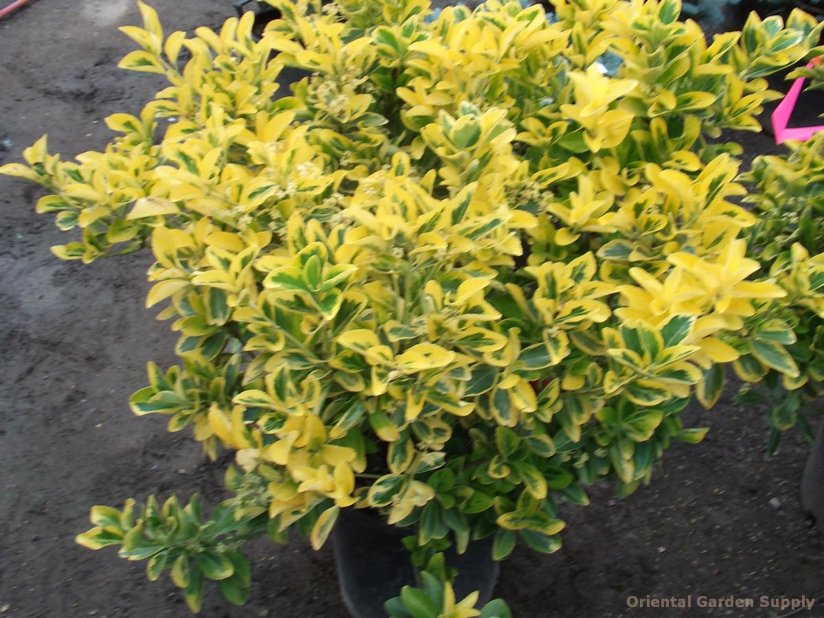 euonymus japonica 'aurea-marginatus' - oriental garden