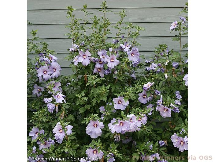 Hibiscus syriacus 'Azurri Blue Satin'