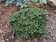 Abies balsamea 'Piccolo'