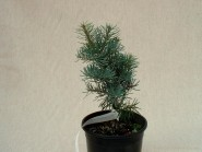 Abies concolor 'Compacta'