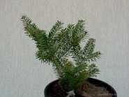 Abies koreana 'Goldener Traum'