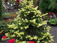 Picea pungens 'Gebelle's Golden Spring'