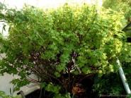 Acer circinatum 'Little Gem'