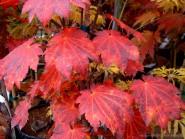 Acer japonicum 'Aka omote'