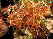 Acer japonicum 'Fairy Lights'
