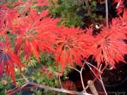 Acer japonicum diss 'Oregon Fern'