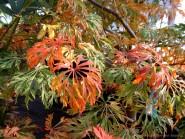 Acer japonicum dissectum 'Green Cascade'