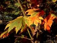 Acer japonicum 'O isami'