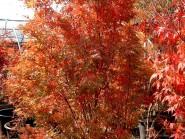 Acer palmatum 'Ao kanzanshi'