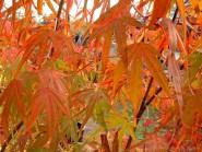 Acer palmatum 'Ao shime no uchi'