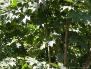 Acer sieboldianum 'Mikasa yama'