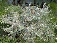 Abelia x grandiflora 'Silver Anniversary'