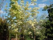 Acer platanoides 'Drummondi'