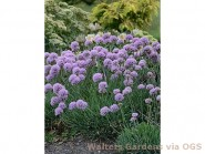 Allium senescens 'Blue Eddy'