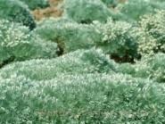 Artemesia schmidtana 'Silver Mound'
